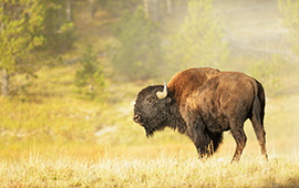menu-size-bison-autumn-yellowstone_408810253