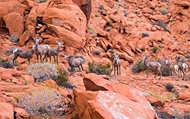 menu-size-nv-desert-big-horn-sheep-in-valley-of-fire-state-park_ss285125816